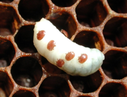 پاورپوینت آلودگی به واروا در زنبوران عسل